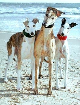 20071214-adopt_a_greyhound