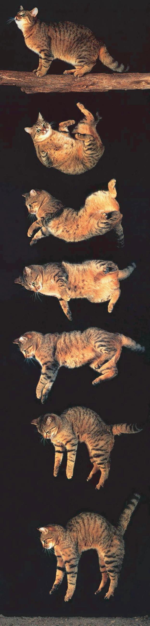 falling_cat04