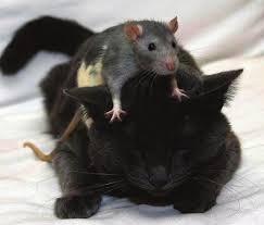 muis op kop kat
