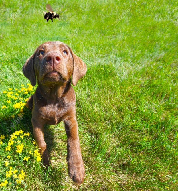 15139616-Humorous-wide-angle-image-of-a-chocolate-lab-puppy-looking-excitedly-at-a-passing-bumble-bee-in-the--Stock-Photo