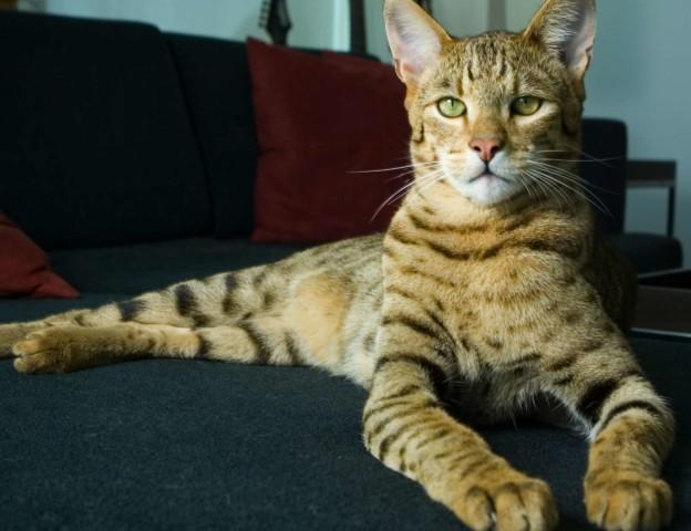 allerca-com-Allerca-Hypoallergenic-Cat