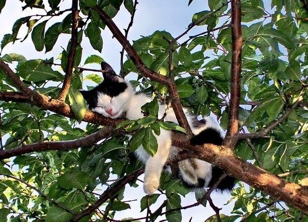 cat-sleeping-in-tree