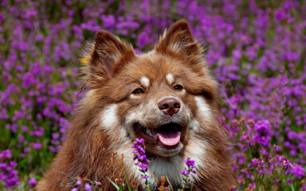 dog_face_flowers_ears_waiting_hd-wallpaper-49329