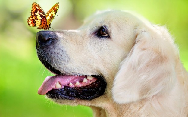 photo-of-a-dog-with-butterfly-on-his-nose-hd-dog-wallpaper