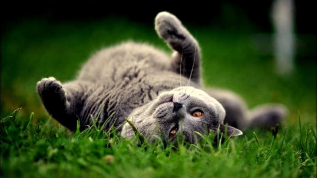 playing_cutesy_grey_cat_down_grass_gold_2560x1440_hd-wallpaper-410567