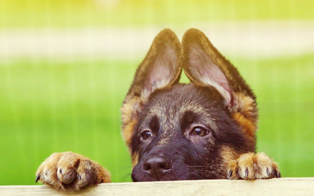 German-Shepherd-Puppies-with-Cute-Face-and-Ears