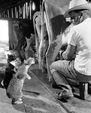 cat-drinking-milk-from-cow-utter